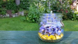 jar in garden with borage flowers