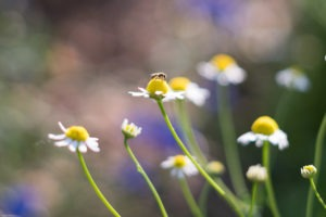 a bee and chamomile flowers up close