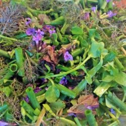 early spring greens, chives, sorrel, bronze fennel, violet leaves, ground ivy