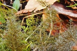 bronze fennel fronds, small spring bronze feathery leaves